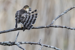 Juvenile sharp-shinned hawk preening in late November