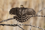 Juvenile sharp-shinned hawk drying wings in late November