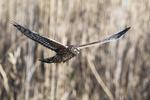 Northern harrier in flight, birds