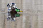 Mallard drake stretching on late autumn pond