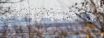 Brant flock flight against Brooklyn NY backdrop