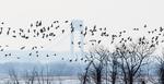 Brant flock flight against Verrazano bridge backdrop