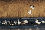 Snow geese landing on frozen pond