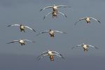 Snow geese getting ready to land