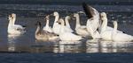 Snow geese on December pond