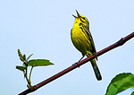 Prarie Warbler Singing On Nesting Territory In Late May
