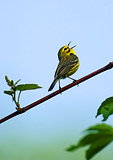Prairie Warbler, Male, Singing On Nesting Grounds In Late May