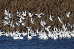 Canada geese flock in early winter