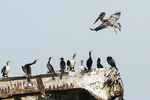 Brown pelican and cormorants