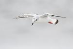 Bonaparte's gull in mid January