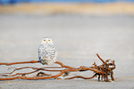 Juvenile snowy owl perched in mid-January