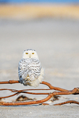 Juvenile snowy owl perched in late afternoon mid-January light