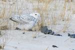 Juvenile snowy owl in mid-January, birds
