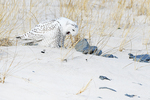 Juvenile snowy owl in mid-January