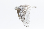 Snowy owl flight in late January