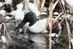 Drake Northern Shoveler on snowy pond