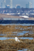 Snowy owl in winter salt marsh with New York skyline