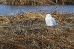 Snowy owl in salt marsh