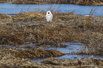 Snowy owl yawning in winter salt marsh