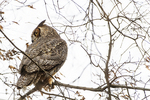 Great horned owl in early February