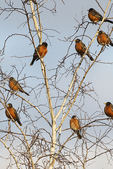 American robins in early February