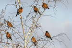 American robins in early February