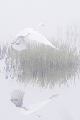 Great egret and reflection on a  foggy June morning