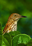 Brown Thrasher Peeking Out From Leaf Cover