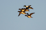 Common goldeneye group in dawn flight