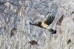 Northern harrier flight in early March salt marsh habitat