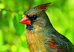 Female Cardinal Close Up