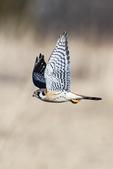 Male American kestrel flight in early March