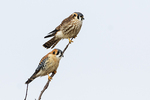 Male and female American kestrel