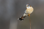 Perched male American kestrel