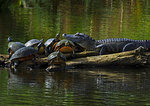 """Friends""-Alligator And Red-Bellied Turtles"