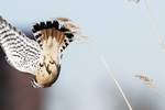 Male American kestrel dive in early March