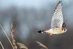 Male American kestrel flight in late March