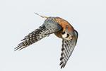 Male American kestrel flight in late March