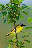 Common Yellowthroat, Male On Nesting Grounds In Late May