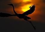 Great Blue Heron Silhouette And Rising Sun