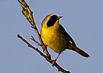 Common Yellowthroat Portrait