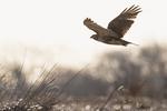Red-tailed hawk in salt marsh habitat