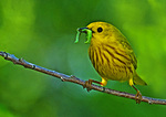 Yellow Warbler With Caterpillar For Nestlings