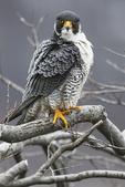 Peregrine falcon in March