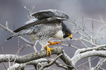 Peregrine falcon in mid-March