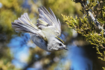 Golden-crowned kinglet in late March flight