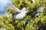 Golden-crowned kinglet in late March, birds, songbirds, spring migration, Jamaica Bay Wildlife Refuge,