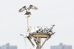 Mating ospreys after early April snow fall