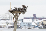 Osprey and Broad Channel after early April snow fall