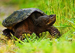 Snapping Turtle On Land Looking For Site To Lay Eggs